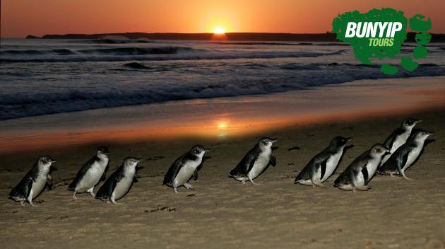 1 Day Phillip Island Penguin Parade Ultimate Eco Tour