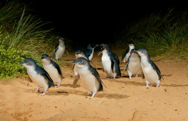 Penguin Parade & Koala Highlights with WWF Antarctic Journey