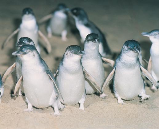 Phillip Island - Penguins Up Late