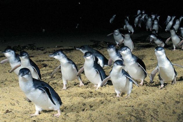 Phillip Island Penguin Parade with Koalas and Kangaroos