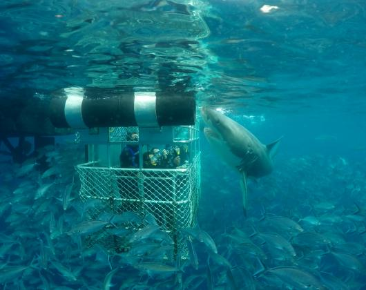 One day Combo Tour - Swim with Sealions & Shark Cage Diving