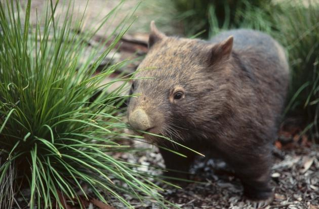Wombat Discovery Tours: Wildlife Safari Tour