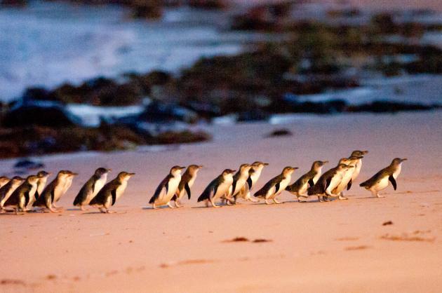 1 Day Phillip Island Penguin Parade Wildlife Conservation Park Tour
