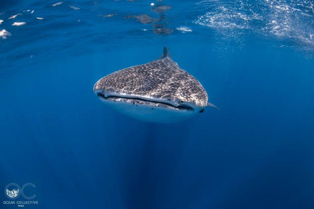Whale Shark Adventure Tour