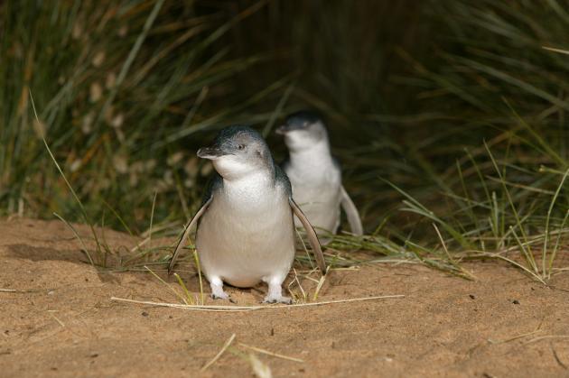 1 Day Phillip Island Penguin Parade & Wildlife Adventure Tour